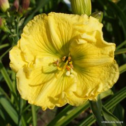 Daylily 'Siloam Green Creek'