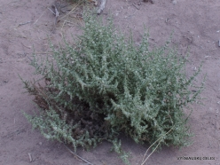 Grand Canyon. West Rim. Helicopter and Boat Tour. The bottom of canyon. Saltbush (Atriplex sp.)