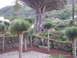 Icod De Los Vinos. Drago Park. Dragon Tree (Dracaena draco) (3)
