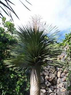 Icod De Los Vinos. Drago Park. Dragon Tree (Dracaena draco)