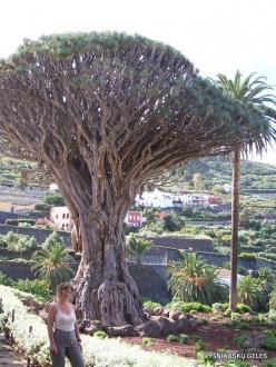 """Icod De Los Vinos. Drago Park. Old Dragon Tree (Dracaena draco) """"El Drago Milenario"""" (2)"""