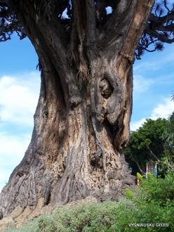 """Icod De Los Vinos. Drago Park. Old Dragon Tree (Dracaena draco) """"El Drago Milenario"""""""
