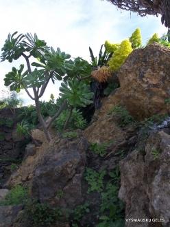Icod De Los Vinos. Drago Park. Tree Houseleek (Aeonium sp.)