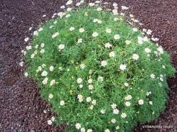Near El Medano. Marguerite daisy (Argyranthemum frutescens)