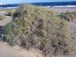 Near El Medano. Playa del Médano. Launaea arborescens