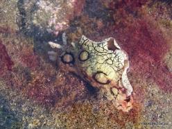 Near El Medano. Playa del Médano. Spotted sea hare (Aplysia dactylomela) (2)