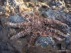 Near El Medano. Playa del Médano. Starfish (Coscinasterias tenuispina)