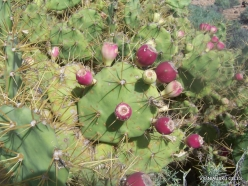 Near El Medano. Prickly pear (Opuntia maxima)
