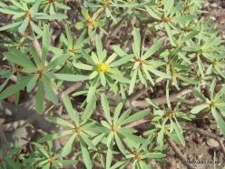 Near El Medano. Sweet tabaiba plant (Euphorbia balsamífera) (4)