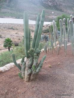 Near Los Christianos. Cactus park (15)