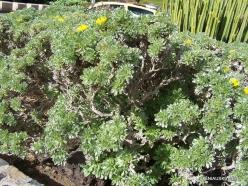 Near Masca. Canary Island Daisy (Asteriscus sericeus) (2)