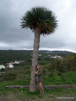 Near Masca. Dragon Tree (Dracaena draco)