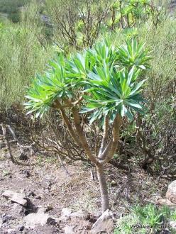 Near Masca. Kleinia neriifolia (2)