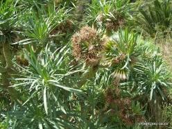 Near Masca. Kleinia neriifolia