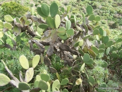 Near Masca. Prickly pear (Opuntia maxima)