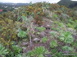 Near Masca. Succulent plants (3)