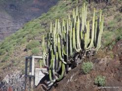 Playa de los Gigantes. Canary Island Spurge (Euphorbia canariensis)