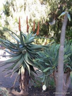 Puerto de La Cruz. Botanical garden. Candelabra aloe (Aloe arborescens)