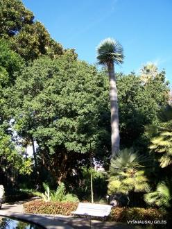 Puerto de La Cruz. Botanical garden. Dragon Tree (Dracaena draco)