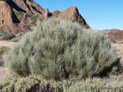 Teide National Park . Spartocytisus supranubius