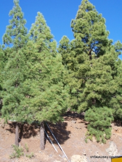 Vilaflor. Canary Island pine (Pinus canariensis) (2)