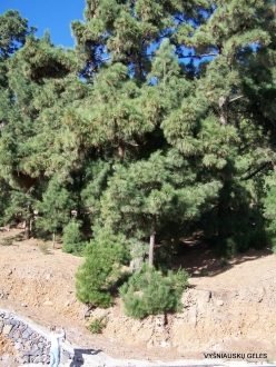 Vilaflor. Canary Island pine (Pinus canariensis) (3)