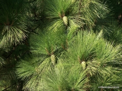 Vilaflor. Canary Island pine (Pinus canariensis)