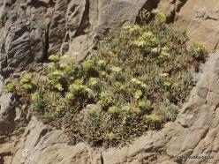 Agios Pavlos. Apoplýstra. Rock samphire (Crithmum maritimum)