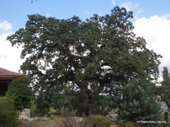Agios Thomas. Downy oak (Quercus pubescens) (2)