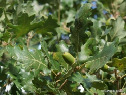 Agios Thomas. Downy oak (Quercus pubescens)