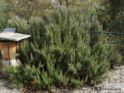 Agios Thomas. Rosemary (Rosmarinus officinalis)
