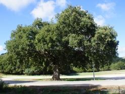 Amari. Holm oak (Quercus ilex) (2)