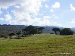 Amari. Italian stone pine (Pinus pinea) (2)