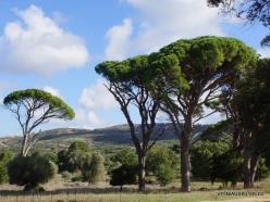 Amari. Italian stone pine (Pinus pinea) (3)
