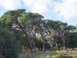Amari. Italian stone pine (Pinus pinea) (4)