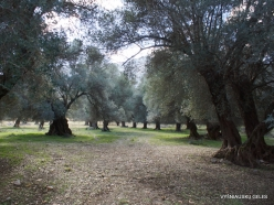 Amari. Old Olive trees plantation