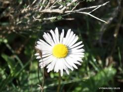 Amari. Southern daisy (Bellis sylvestris)