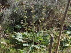 Amari. Wild clary (Salvia verbenaca)