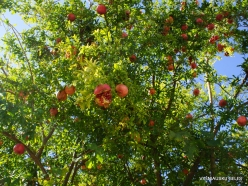 Meronas. Pomegranate (Punica granatum)