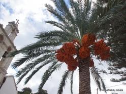 Paliani Monastery. Cretan Date Palm (Phoenix theophrasti) (2)