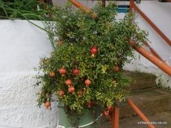 Paliani Monastery. Dwarf Pomegranate (Punica granatum var. nana)