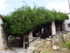 Paliani Monastery. Very old myrtle tree (Myrtus communis) (2)