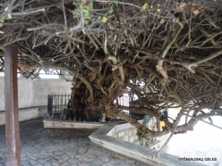 Paliani Monastery. Very old myrtle tree (Myrtus communis) (5)