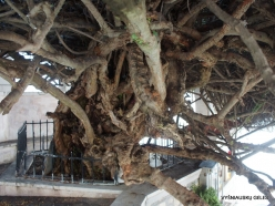 Paliani Monastery. Very old myrtle tree (Myrtus communis) (9)