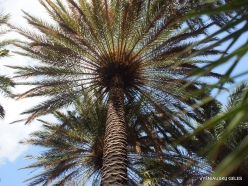 Preveli gorge. Cretan Date Palm (Phoenix theophrasti) (2)
