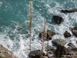 Preveli. Sea squill (Drimia maritima)