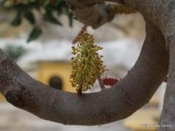 Spilia. Carob tree (Ceratonia siliqua)