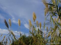 Stalida. Giant cane (Arundo donax)