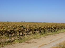 Central California. Grape plantation