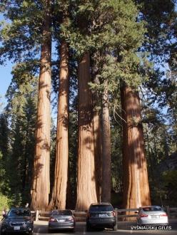 Kings Canyon National Park. Giant sequoia (Sequoiadendron giganteum) (1)